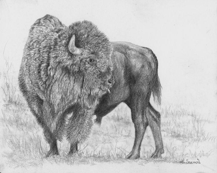 Bison d'Amérique, dessin réalisé au crayon par Laurence ...